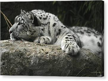 A Snow Leopard Takes Time Out To Rest Canvas Print by Jason Edwards