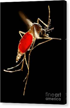 Aedes Aegypti Mosquito Canvas Print by Science Source