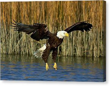 American Bald Eagle Canvas Print by Paulette Thomas