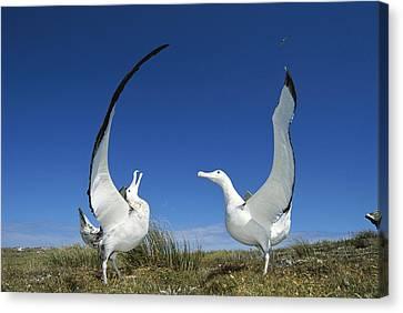 Antipodean Albatross Diomedea Canvas Print by Tui De Roy