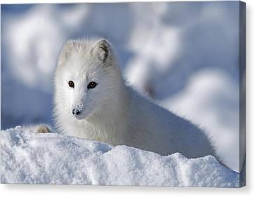 Arctic Fox Exploring Fresh Snow Alaska Canvas Print by David Ponton