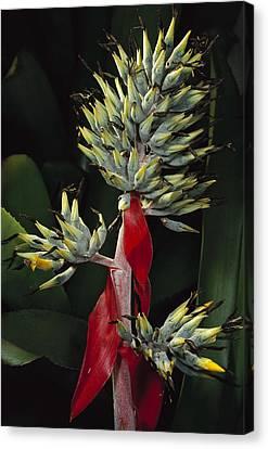 Atlantic Forest Bromeliad Brazil Canvas Print by Mark Moffett