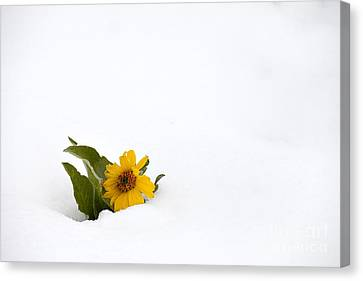 Balsamroot In Snow Canvas Print by Hal Horwitz and Photo Researchers