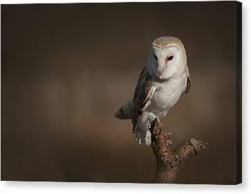 Barn Owl Canvas Print by Andy Astbury