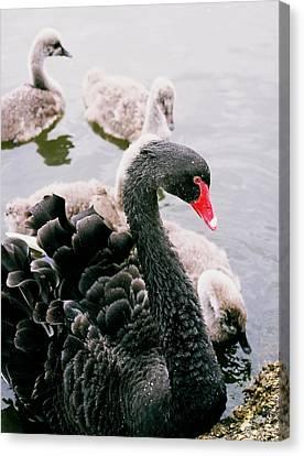Black Swan Canvas Print by William Walker