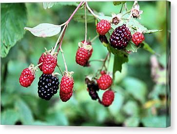 Blackberries Canvas Print by Kristin Elmquist