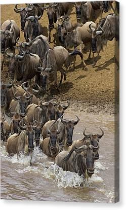 Blue Wildebeest Connochaetes Taurinus Canvas Print by Suzi Eszterhas