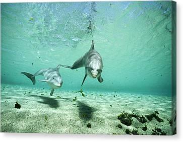 Bottlenose Dolphin Pair Hawaii Canvas Print by Flip Nicklin