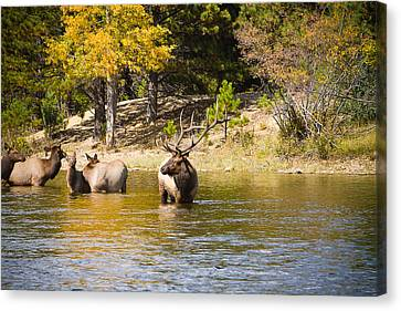 Bull Elk Watching Over Herd 5 Canvas Print by James BO  Insogna