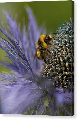 Busy Bee On A Thistle Canvas Print by Zoe Ferrie