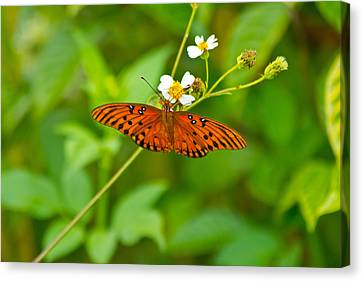Butterfly Canvas Print by Wild Expressions Photography