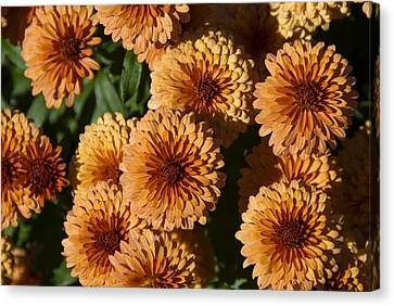 Close-up View Of Orange Mums In Bloom Canvas Print by Todd Gipstein
