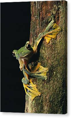 Close View Of A Wallaces Flying Frog Canvas Print by Tim Laman