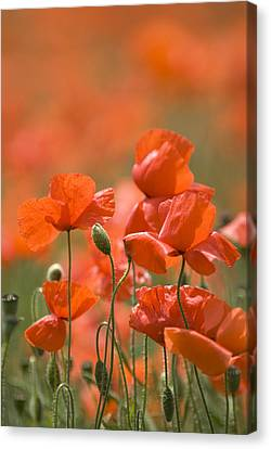 Common Poppies (papaver Rhoeas) Canvas Print by Adrian Bicker