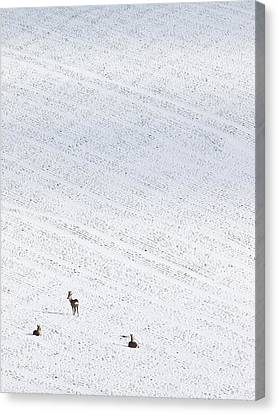 Deer In A Distant Snow Covered Field Canvas Print by Adrian Bicker