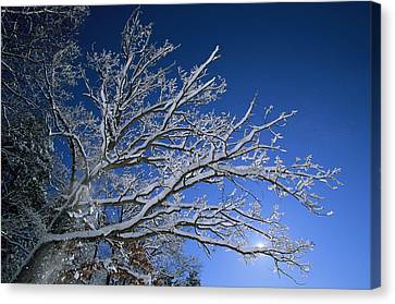 Fresh Snowfall Blankets Tree Branches Canvas Print by Tim Laman