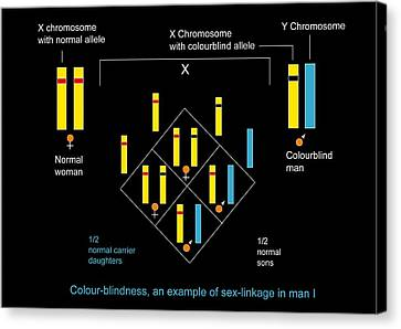 Genetics Of Colour Blindness, Diagram Canvas Print by Francis Leroy, Biocosmos