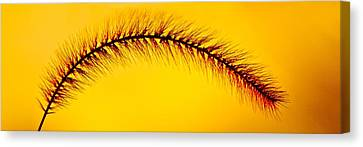 Giant Foxtail In Gold Canvas Print by Jim Finch