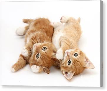 Ginger Kittens Canvas Print by Mark Taylor