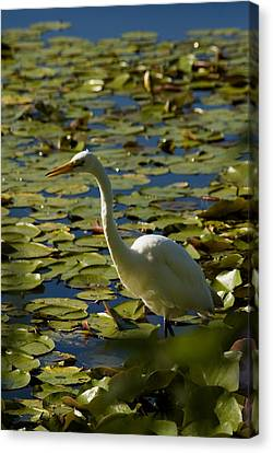 Great White Egret Perched On A Rock Canvas Print by Todd Gipstein