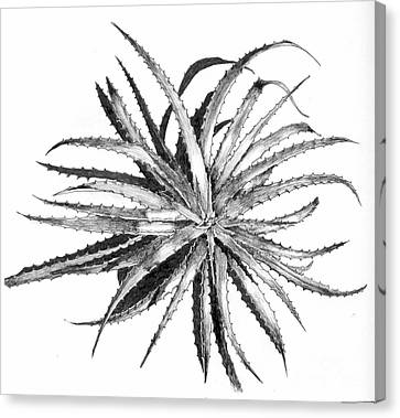 Hechtia Argentea Canvas Print by Penrith Goff
