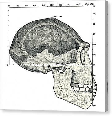 Homo Erectus Skull Canvas Print by Sheila Terry