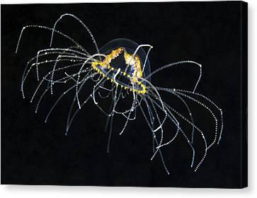 Hydrozoan Medusa Canvas Print by Alexander Semenov