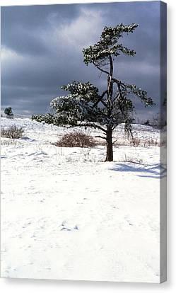 Iced Tree Shenandoah National Park Canvas Print by Thomas R Fletcher
