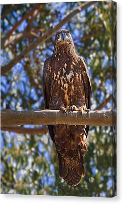 Immature Bald Eagle Canvas Print by Beth Sargent