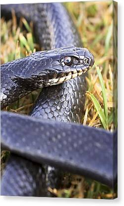 Large Whipsnake (coluber Jugularis) Canvas Print by Photostock-israel