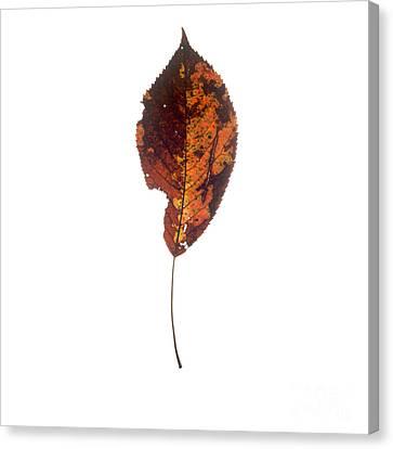 Leaf In Autumnal Colours Canvas Print by Bernard Jaubert