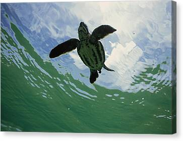 Leatherback Sea Turtle Dermochelys Canvas Print by Mike Parry