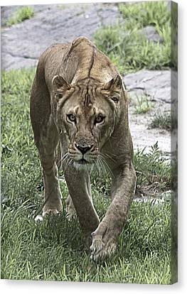 Lioness Canvas Print by Yosi Cupano