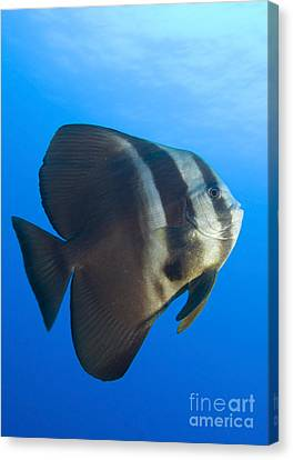 Longfin Spadefish, Papua New Guinea Canvas Print by Steve Jones