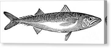 Mackerel Canvas Print by Granger