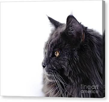 Maine Coon Cat Canvas Print by Waldek Dabrowski