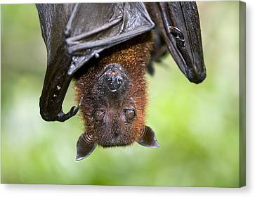 Malayan Flying Fox Canvas Print by Tony Camacho
