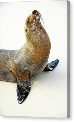 Male Galapagos Sea Lion Standing On Beach Canvas Print by Sami Sarkis