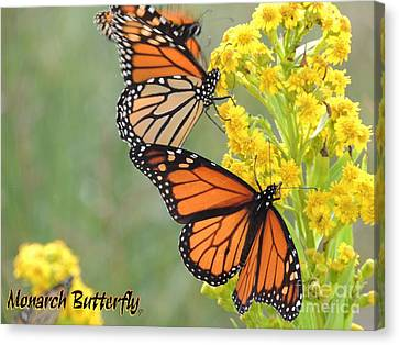 Monarch Butterfly Canvas Print by Laurence Oliver