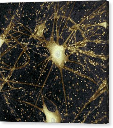 Motor Neurons, Light Micrograph Canvas Print by Steve Gschmeissner
