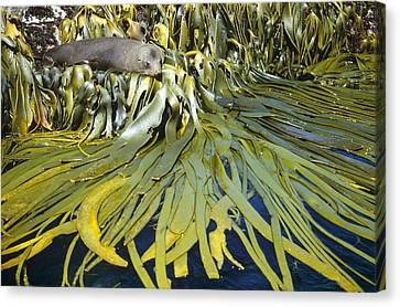 New Zealand Fur Seal Arctocephalus Canvas Print by Tui De Roy