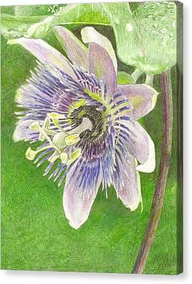 Passiflora Alatocaerulea Canvas Print by Steve Asbell