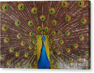 Peacock Canvas Print by Carlos Caetano