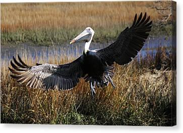 Pelican Wings Canvas Print by Paulette Thomas