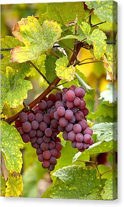 Pinot Noir Grapes Canvas Print by Jeremy Walker
