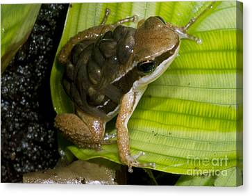 Pratts Rocket Frog With Young Canvas Print by Dante Fenolio