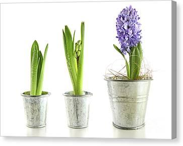 Purple Hyacinth In Garden Pots On White Canvas Print by Sandra Cunningham