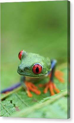 Red-eyed Tree Frog (agalychnis Callidryas) Canvas Print by Peter Lilja