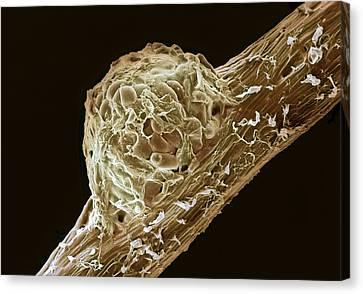 Root Nodule Canvas Print by Dr Jeremy Burgess
