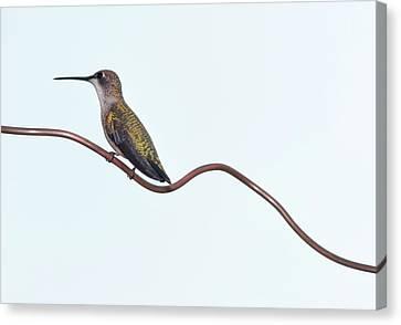 Ruby Throated Hummingbird Canvas Print by Jim McKinley